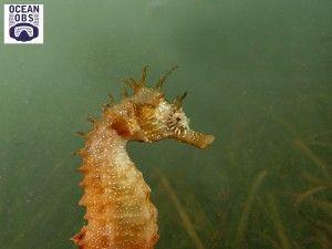 recensement exceptionnel des Hippocampes du bassin d'Arcachon